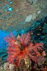Corail Shaab Sharm