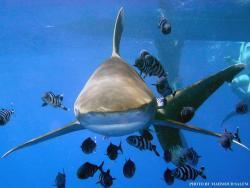 Requin marteau Elphinstone